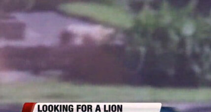 Milwaukee's mystery cat: Could there really be a lion in Wisconsin?