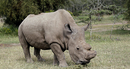 Northern white rhino: How scientists hope to save rare breed from extinction