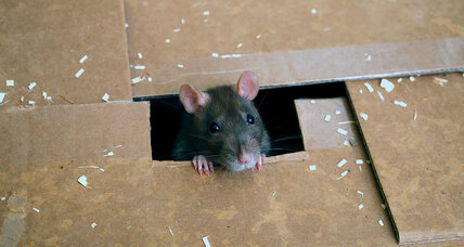 'Daddy – can I have a pet rat?'
