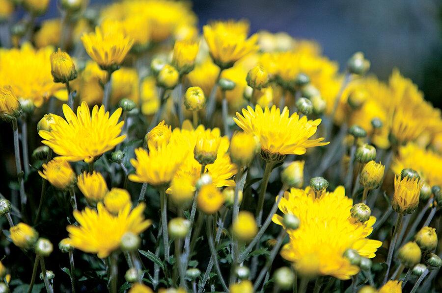 How To Grow Chrysanthemums Csmonitor