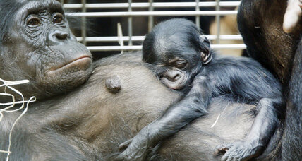 Bonobos speak like human babies, say scientists (+video)