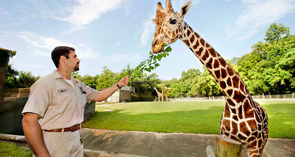 Giraffe killing produces more outrage. But can legal hunting help? (+video)
