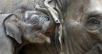 World Elephant Day: Who buys Ivory?