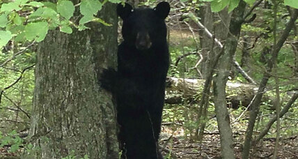Bear attack: N.Y. man uses stick to save his dog from a bear (+video)