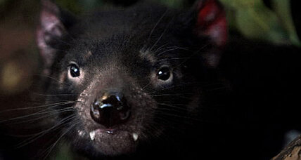 Taz to the rescue? Study says devil could save Aussie ecosystem