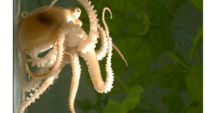Octopus genome reveals astonishing secrets