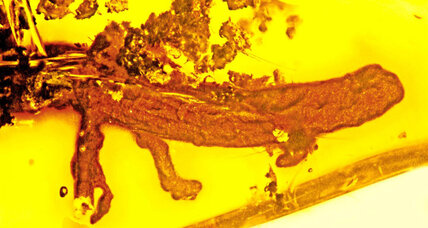 Salamander trapped in amber could hold ancient Caribbean secrets