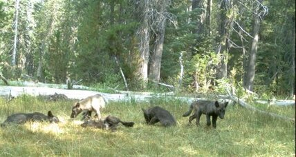 Gray wolves set down roots in California – the first time in almost a century