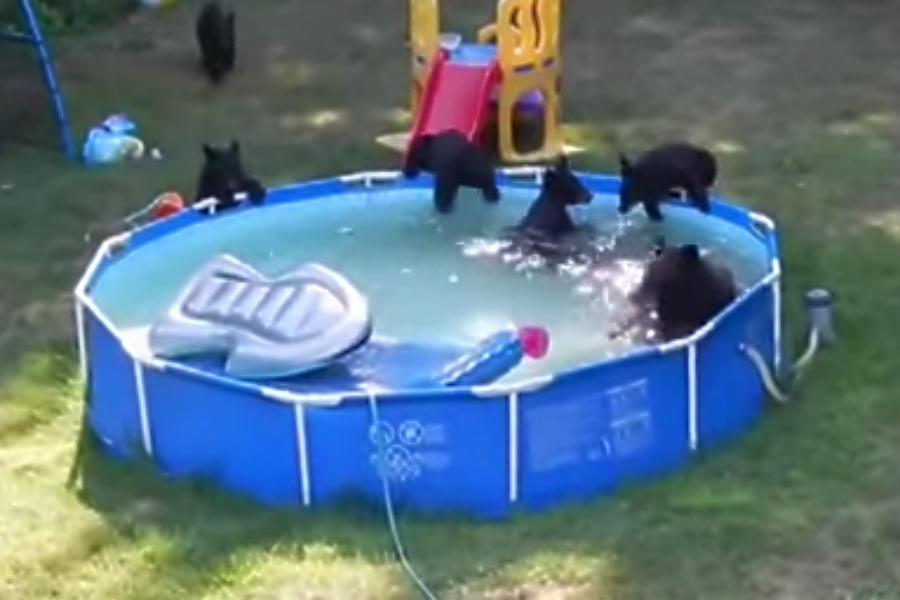 Bear and five cubs frolic in New Jersey familys pool