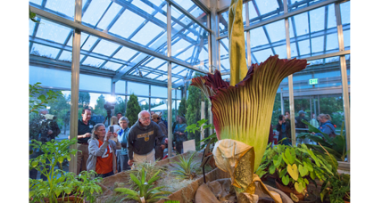 Foul-smelling 'corpse flower' blossoms in Denver