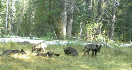 Officials: Gray wolves have returned to Northern California