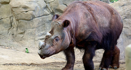 Why Cincinnati zoo is sending rare Sumatran rhino to Indonesia