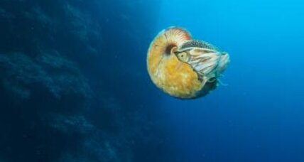 Mysterious nautilus, thought extinct, spotted in Papua New Guinea