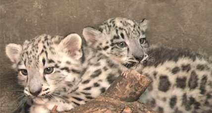 Rare (and adorable!) snow leopard cubs born at Chicago zoo