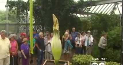 Scientists help Chicago's stinky 'corpse flower' blossom