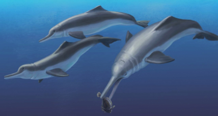 Why did river dolphins leave oceans? Ancient fossils hold clues.