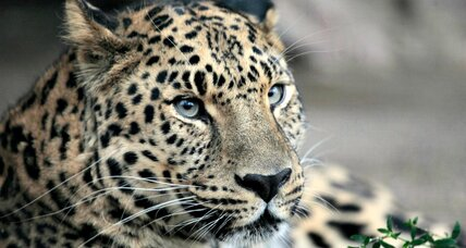 World's most endangered big cat may be on the rebound
