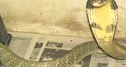 Watch out Floridians, an 8-foot King Cobra is on the loose