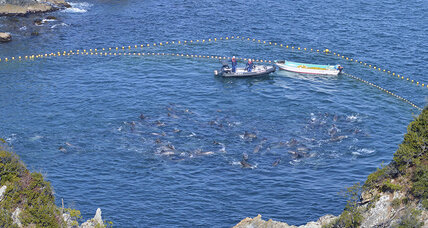 Dolphin hunt: Why Japan is unlikely to heed activists