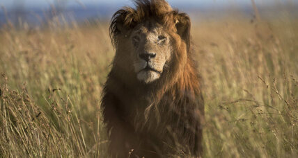 Where are all the lions? Study shakes concept of predator-prey ratios.