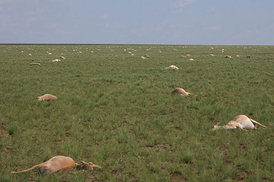 Scientists hunt for clues in mysterious deaths of 60,000 antelopes in four days