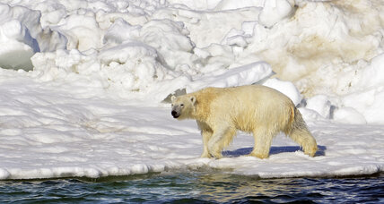 Can polar bears survive without ice? Scientists weigh in.