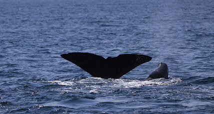 Of cliques and clicks: How sperm whale dialects influence social groups