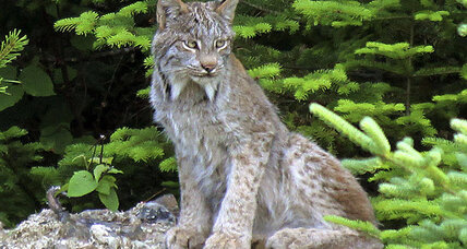 Can Maine landowners save the Canada lynx from decline?