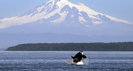 Could a fifth baby orca signal a rebound for Pacific killer whales?