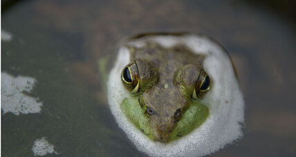 All the single ladies? Study finds decrease in male frogs