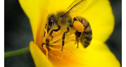 Could a 'killer bee' expansion be good news for farmers?