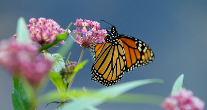 Dwindling North American monarchs begin 3,000-mile journey