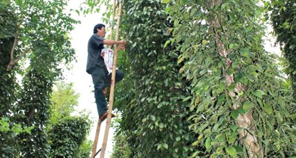 On former battlefields, Vietnam's pepper crop yields a brighter future