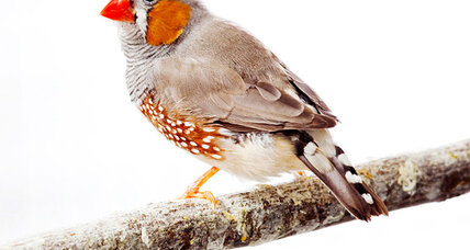 Why do we fall in love? Speed-dating zebra finches offer clues.