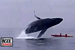 'That was heavy': Breaching whale lands on kayakers.