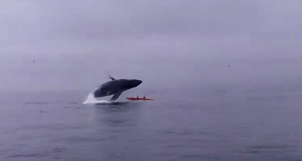 Kayaking with whales? Beware of airborne humpbacks