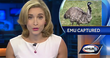 How a fugitive emu was finally captured in New Hampshire