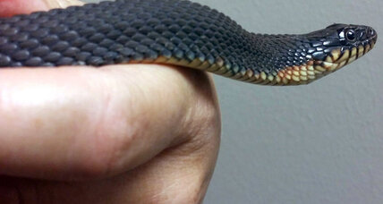 This snake gave birth without a male: How common is parthenogenesis?