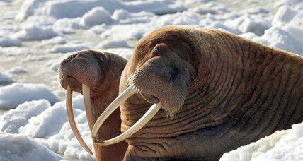 Federal investigators take on walrus murder mystery
