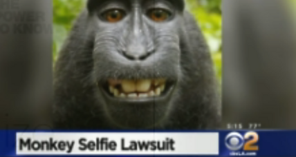 When a monkey takes a selfie, who owns it?