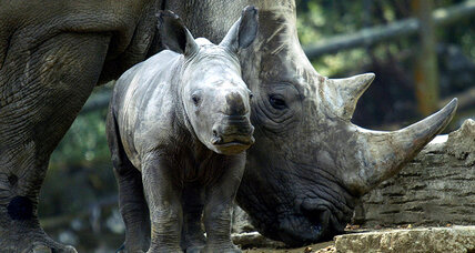 Does baby video footage mean hope for rhinos?