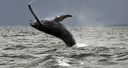 Why have humpback whales returned to Long Island Sound?