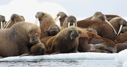 Why deaths of 25 walruses prompted a federal probe (+video)