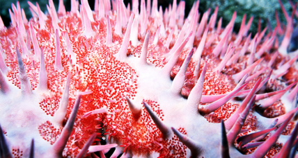 Scientists find an easier way to kill coral-eating starfish. An improvement?