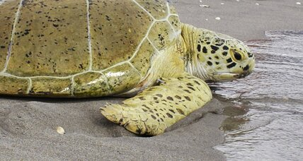 Why was a Florida woman arrested for riding a sea turtle?