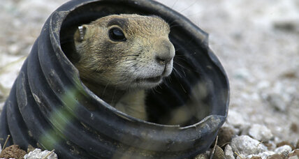Barking prairie dogs: Why Denver court is entering rodent dispute