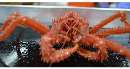 How climate change is making Antarctica royally crabby (+video)