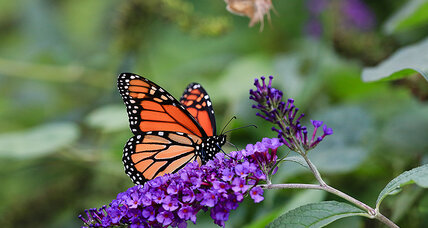 Can monarchs make a comeback?