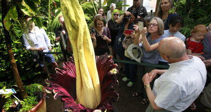 Rare corpse flower blooms unexpectedly in Chicago