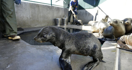 Why are fur seals stranding themselves on California shores?